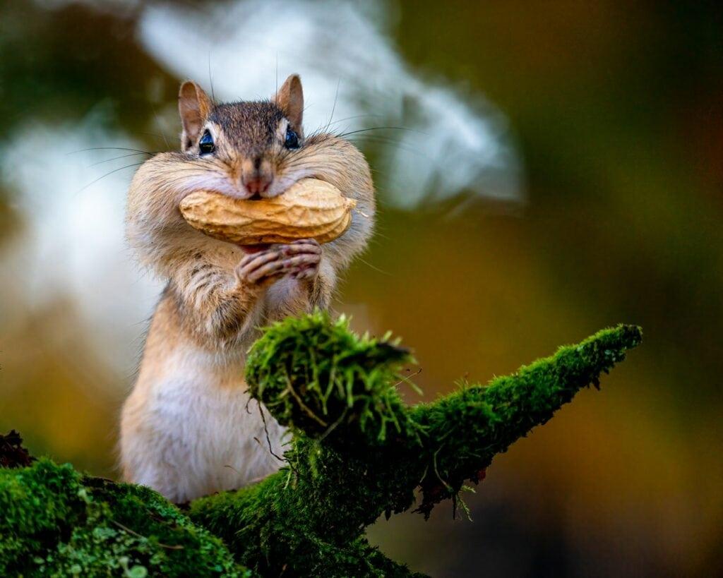 cacahuète écureuil