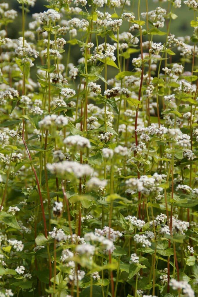 plante de sarrasin