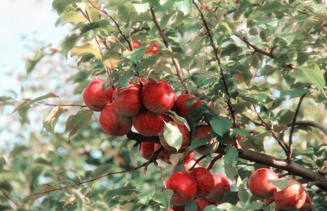 pommes rouges sur une branche de pommier
