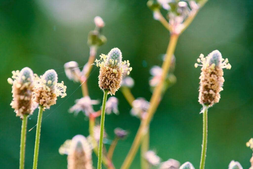 psyllium plante