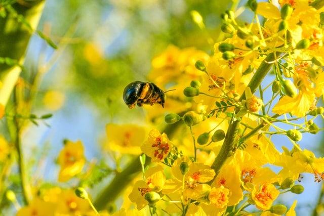abeille dans fleurs jaunes