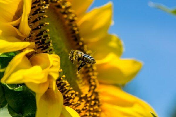 abeille fleur de tournesol pollen