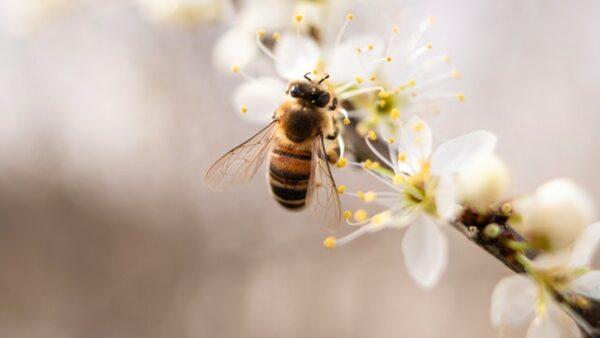 abeille sur fleurs blanches